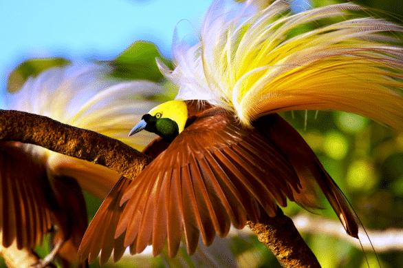 Hewan Langka Burung Cendrawasih