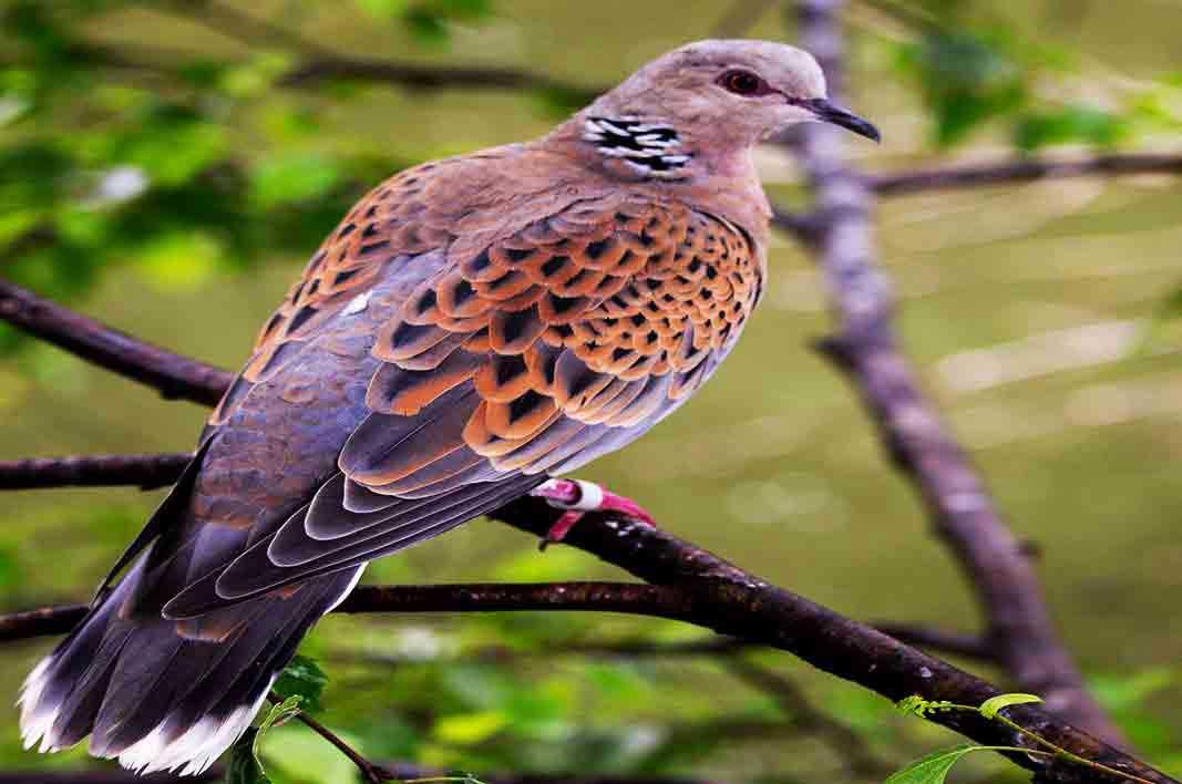 Hewan Langka Burung Tutle Devos
