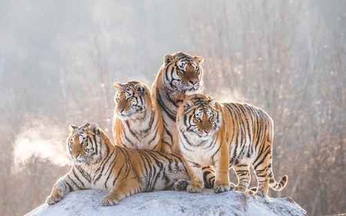 Hewan Langka Harimau Siberia