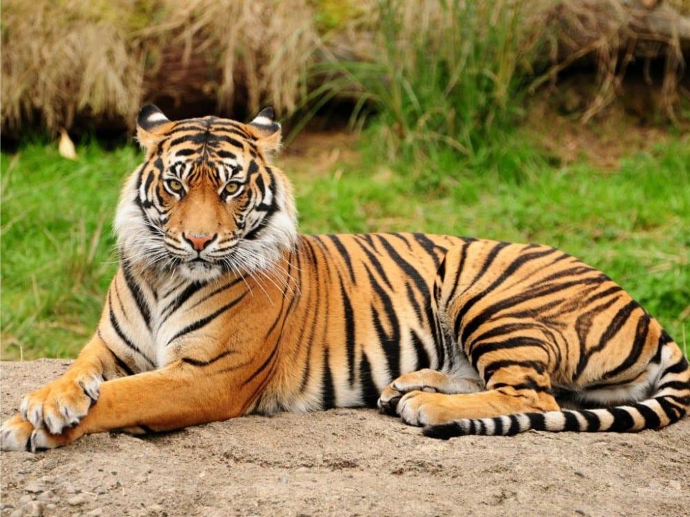 Hewan Langka Harimau Sumatera