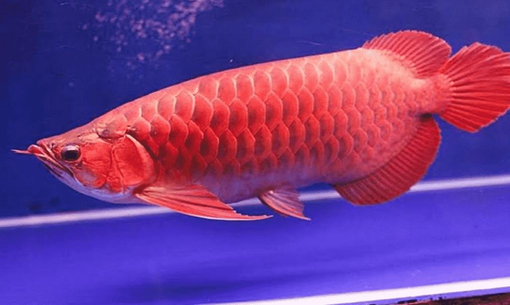 Hewan Langka Ikan Arwana Merah