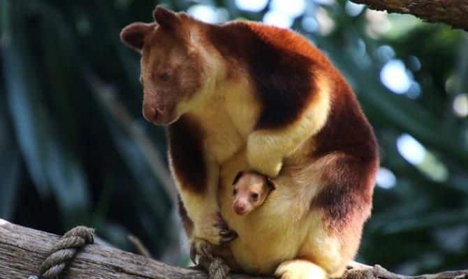 Hewan Langka Kanguru Pohon