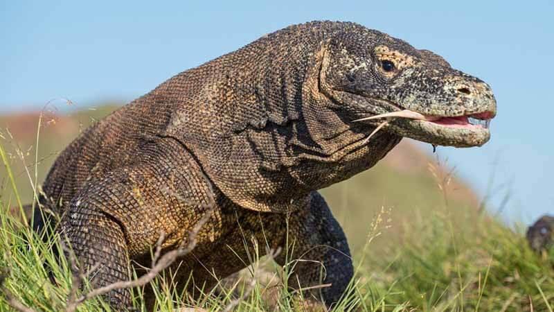 Hewan Langka Komodo