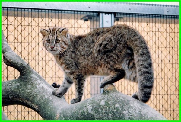 Hewan Langka Kucing Iriomate