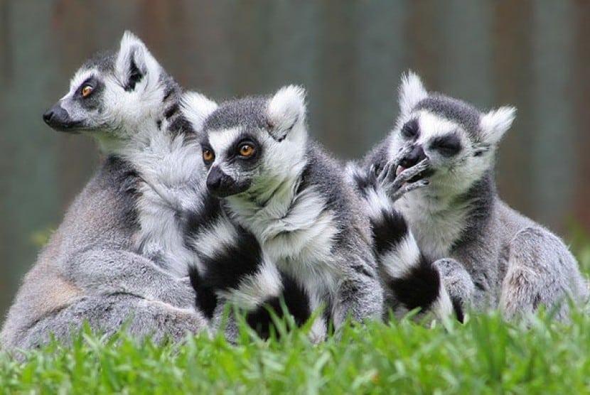 Hewan Langka Lemur Bambu Besar