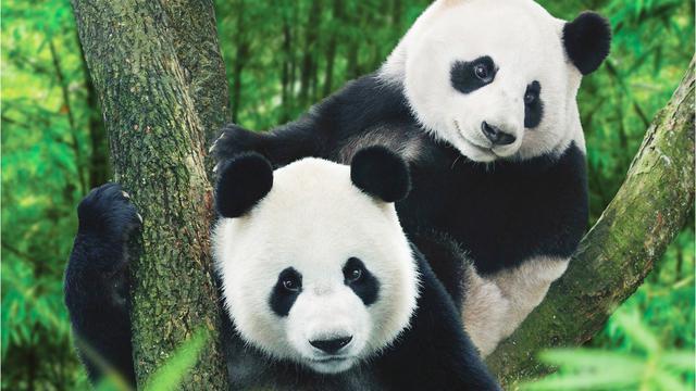 Hewan Langka Panda