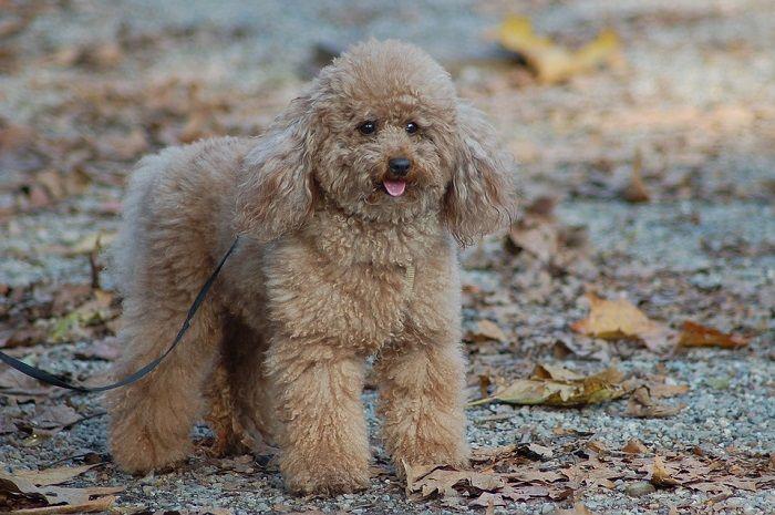 Jenis Anjing Pudel