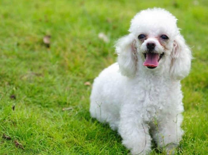 Sejarah Lahirnya Jenis Tiny dan Teacup Poodle