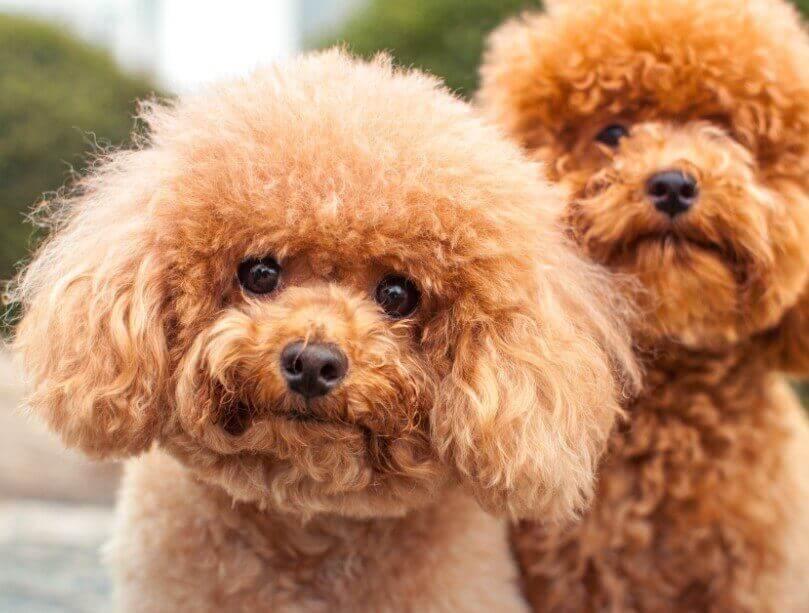 Tanda-tanda Anjing Pudel Jantan Ingin Kawin