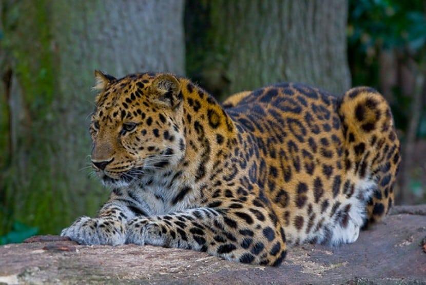 an Langka Macan Tutul Amur