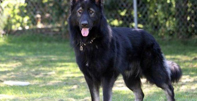 Anjing Herder Mengenal Jenis, Perawatan, dan Mengembangbiakkan