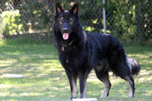 Anjing Herder : Mengenal Jenis, Perawatan, dan Mengembangbiakkan