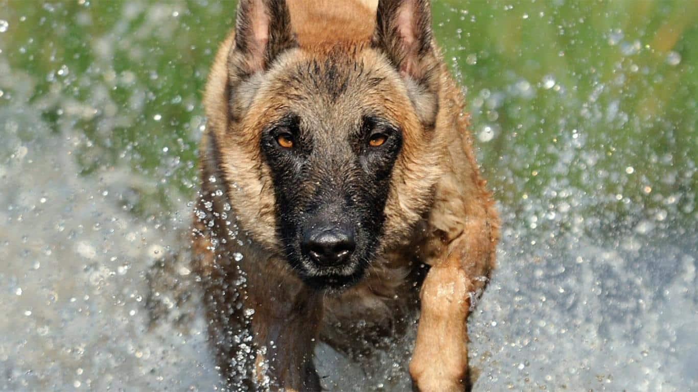 Mengenal Anjing Herder Lebih Dekat