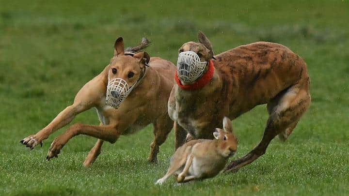 Anjing Greyhound