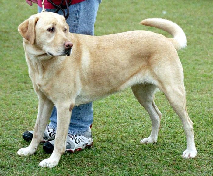 Anjing Labrador Retriever