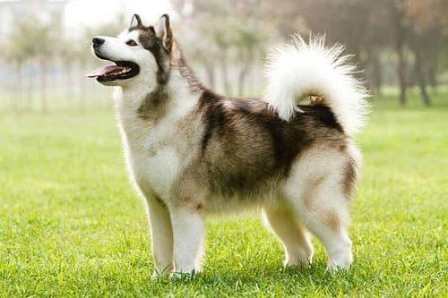 Anjing Malamut Alaska