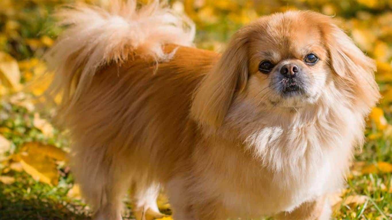 Anjing Pekines