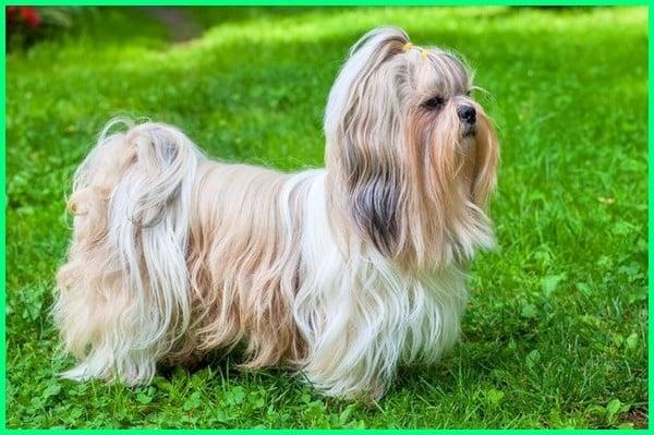 Anjing Shih-tzu
