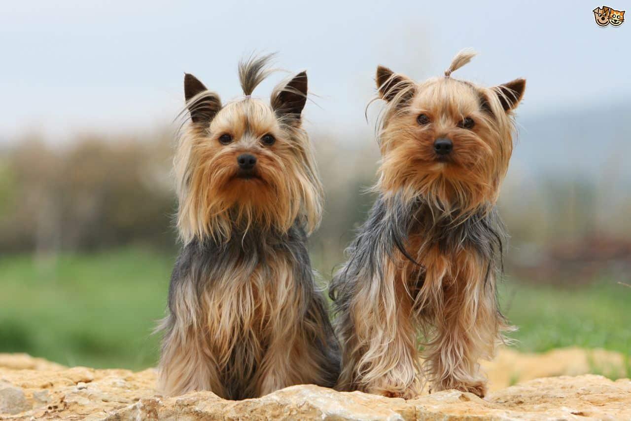 Anjing Yorkshire Terrier