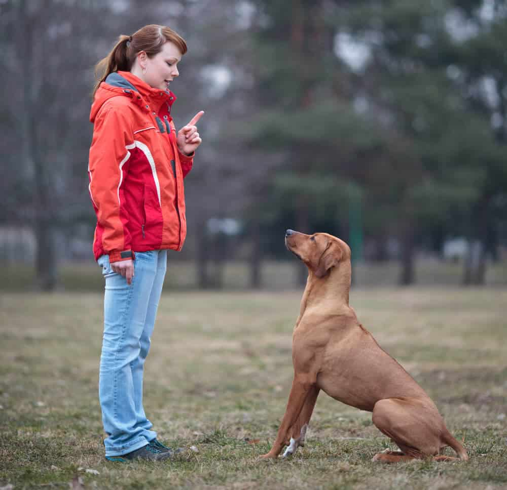 Cara Melatih Anjing Pitbull Duduk dan Stay