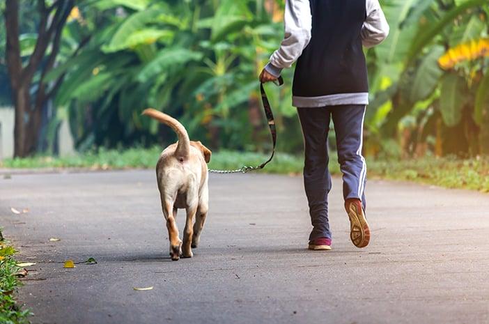Cara Melatih Anjing Pitbull agar Bisa Berjalan di Samping Anda