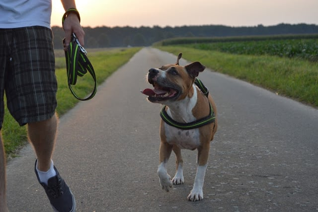 Cara Melatih Anjing Pitbull agar Bisa Menghampiri Majikan