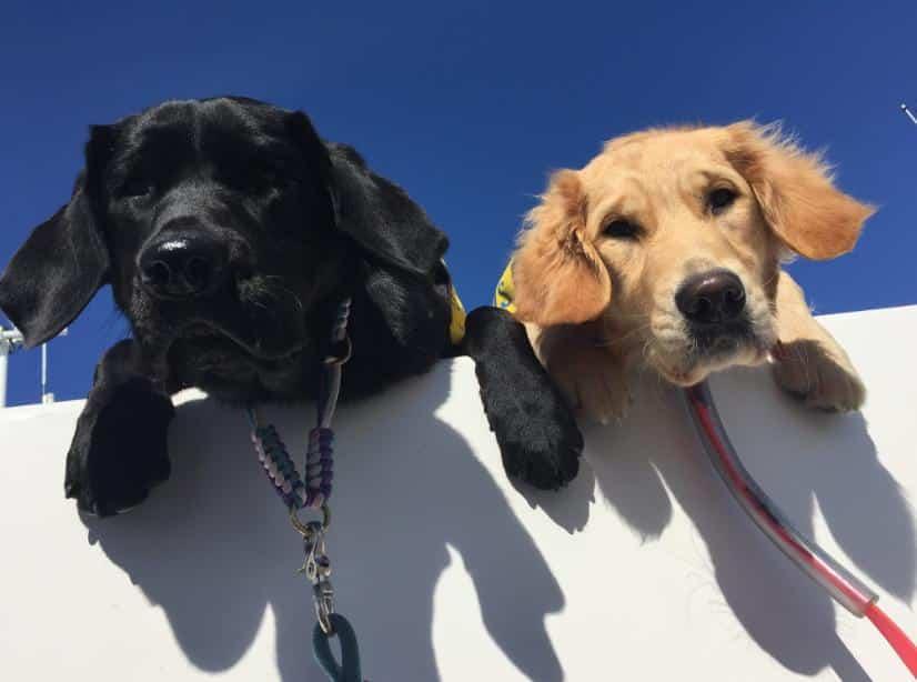 Cara Membantu Perkawinan Anjing Pug
