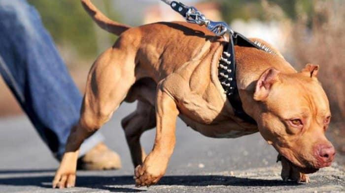 Cara Memilih Anjing Pitbull