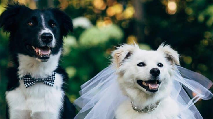 Cara Mengawinkan Anjing Pitbull