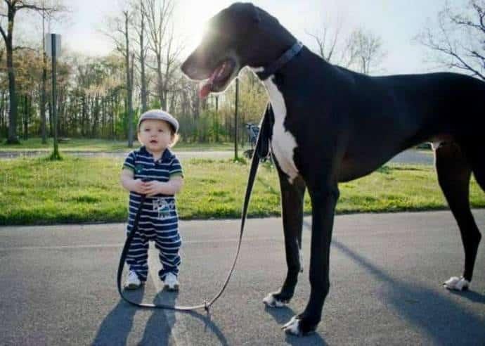 Cara Merawat Anak Anjing Doberman