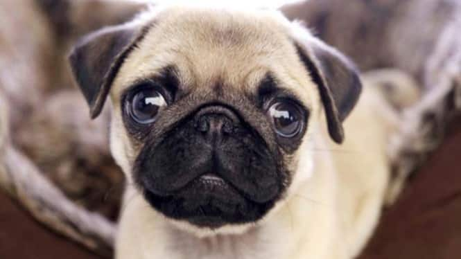 Cara Merawat Anjing Pug
