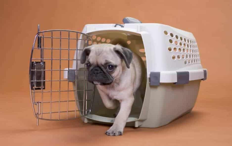 Cara Merawat Kandang Untuk Anjing Pug