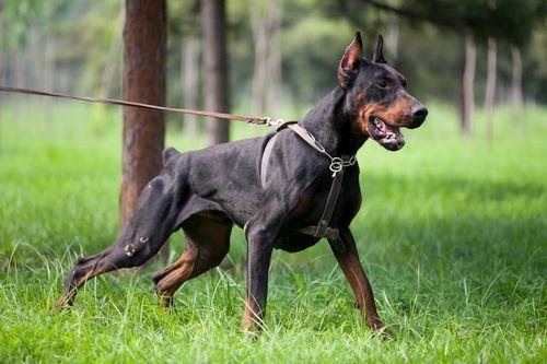 Ciri-ciri Anjing Doberman