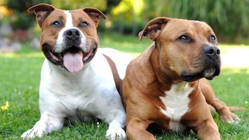 Harga Anjing Pitbull di Pasaran