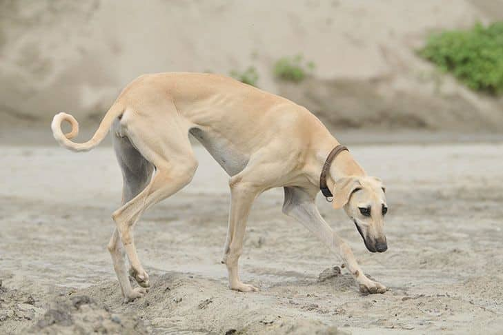 Jenis Greyhound