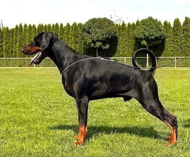 Jenis Pakan Anjing Doberman