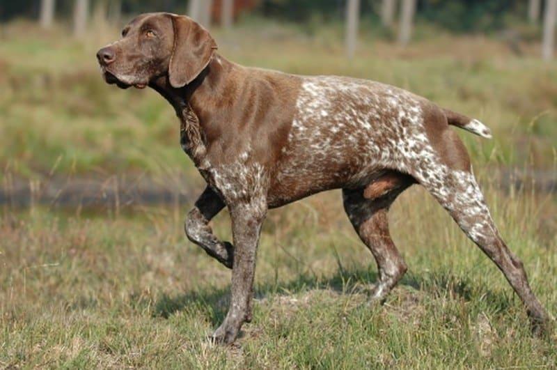 Jenis Shorthaired gun dog