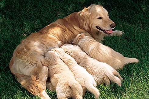 Puppies atau Anak Anjing Chihuahua
