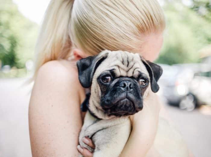 Rutinlah Memeriksa Kesehatan Anjing Pug