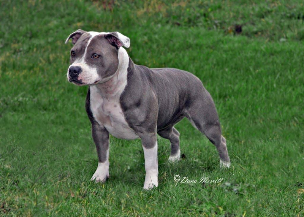 Stanffordhire Bull Terrier