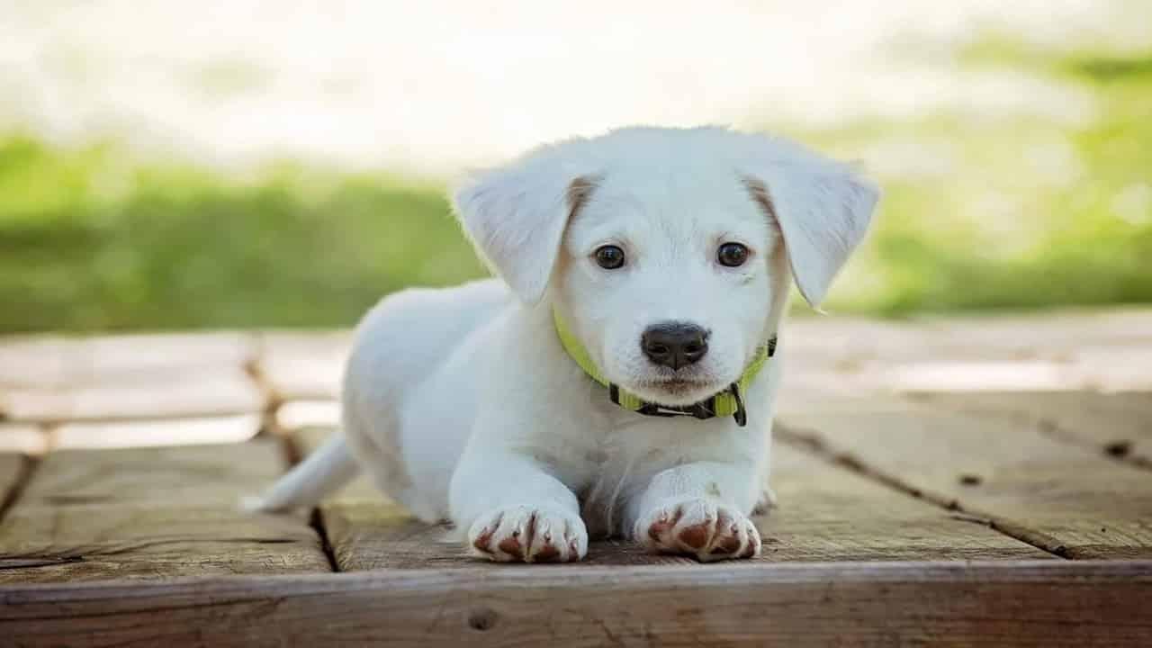 Varian dan Jenis Anjing Chihuahua