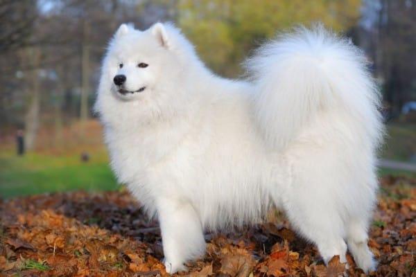 Variasi Jenis Anjing Samoyed